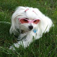 white dog wearing Doggles K9 Optix Rubber Sunglasses for Dogs in Silver